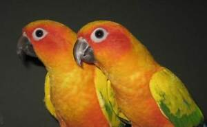 LOST  -  Breeding Pair of  Sun Conures. Gosnells Gosnells Area Preview