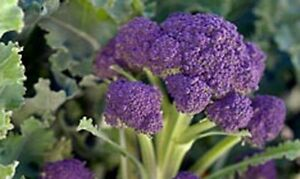 Broccoli-EARLY-PURPLE-SPROUTING-100-Seeds-HEIRLOOM-Vegetables