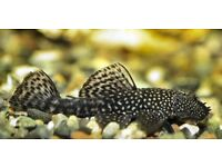 Bristlenose Ancistrus Pleco Suckermouth Tropical Freshwater Catfish Algae Eater Fish