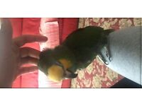 Very Super Tame Amazon Parrot Talking