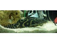 Large Catfish
