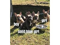 kc beautiful french bull dog puppies solid blue and blue fawn