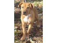 *Reduced* Labrador x Rottweiler Puppy!