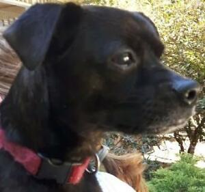 "Adult Male Dog - Pug-Italian Greyhound: ""Warren"""