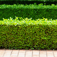 Hedge Trimming / Pruning