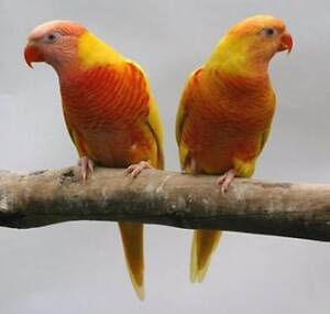 Lutino Lorikeet & Alexandrine Parrot Packages Coburg North Moreland Area Preview