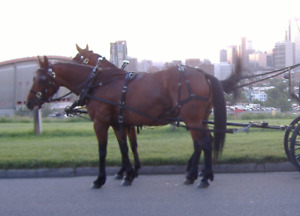 Looking for 2 retired chuck wagon horses