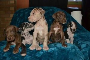 Great Dane Breeding complete pups due November