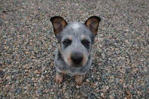 Health tested Blue Heeler pups