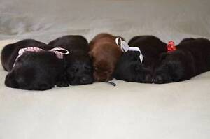 Kelpie/Border Collie Puppies For Sale Norwood Norwood Area Preview