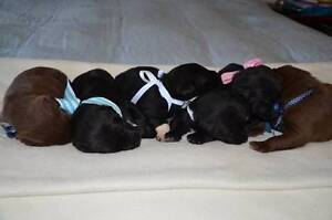 Border Collie cross Kelpie Puppies for sale Norwood Norwood Area Preview