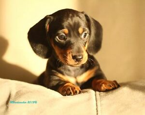 Looking for a young  daschund
