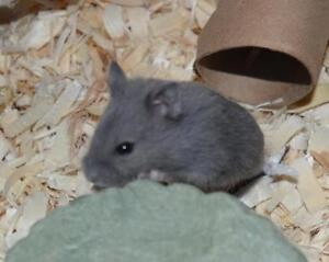 Adorable dwarf hamster babies ready for new homes soon