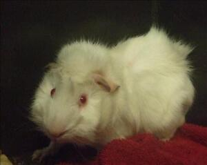 """Young Male Small & Furry - Guinea Pig: """"Alvin"""""""
