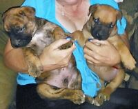 SOUTH AFRICAN BOERBOEL OWNERS!!!