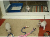 Siamese x Snowshoe kittens pedigree parents £195