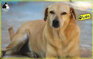 "Adult Female Dog - Labrador Retriever-Terrier: ""Lala"""
