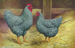 Barred Rock Chickens or Fertile Eggs