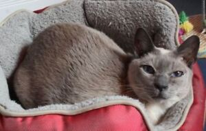 "Senior Male Cat - Siamese: ""Felix"""