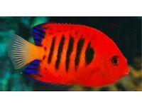 MARINE FISH / NICE SIZE HAWAIIN FLAME AGELFISH, FEEDING WELL