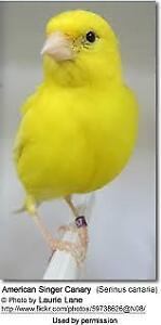 American singer  canary pair