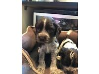 Cocker Spaniel puppies, chocolate roan and blue roan boys and girls