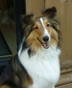 Professional Female with little Sheltie seeking room for rent