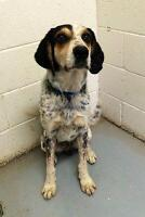 """Adult Male Dog - Coonhound: """"Peter"""""""