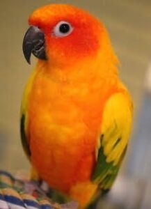 Male sun conure and an a female Indian ring neck parakeets Kingston Kingborough Area Preview