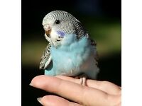 Budgies for sale starting at 10 pounds