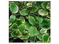 Fast Growing Evergreen Hedging. Griselinia Littoralis Variegata.