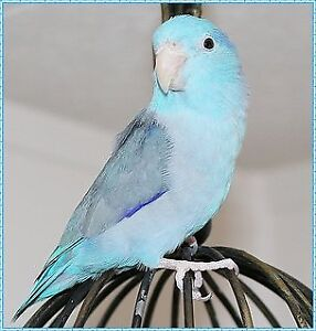 Male Blue Pacific Parrotlet (smallest breed of Parrot)