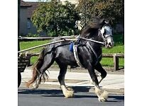 Cob stallion