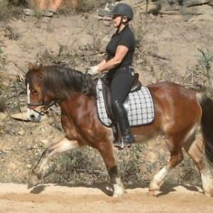 13.3hh Welsh Show Gelding Putty Singleton Area Preview