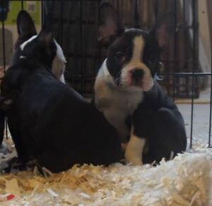 Frenchton Puppies!