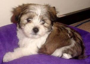 Wanted Maltese x Shit tzu Puppy Female Ormeau Gold Coast North Preview