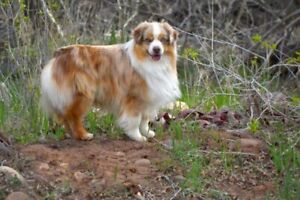 Mini Aussie   Adopt Dogs & Puppies Locally in Canada