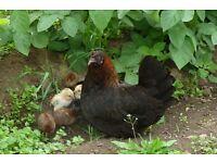 Bantam hen with chicks