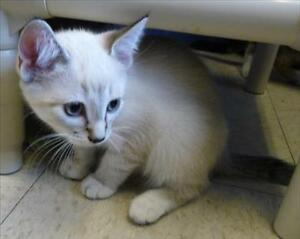 """Baby Male Cat - Domestic Short Hair: """"Baxter"""""""