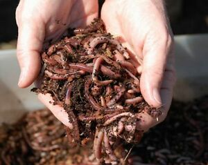 Vermicompost/Lombricompost Red Wiggler Worms