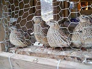 Japanese Cortunix Quail Hens/Female laying - only 6 hens left.