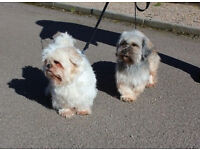 Keira & Candy ( Lhasa Apso X and Shiu Tzu ) Need A Loving New Home