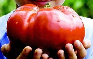 Tomato-Monster-Huge-Fruit-Johnsons-Family-Heirloom-Certified-Organic-Seeds
