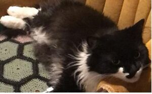 LOST cat - black & white long-haired indoor cat