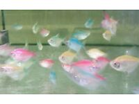 Colour Widow Tetra for sale live tropical fish