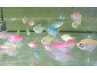 Colour Widow Tetra x5 - live tropical fish