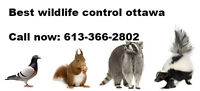 Best wildlife removal and pest control ottawa racoons, squirrel