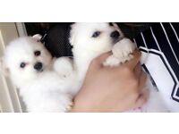 Adorable Kc Japanese Spitz pups