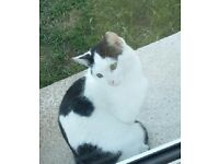 Missing white and black cat