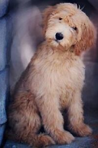 Goldendoodle Puppies F1 and Backcross